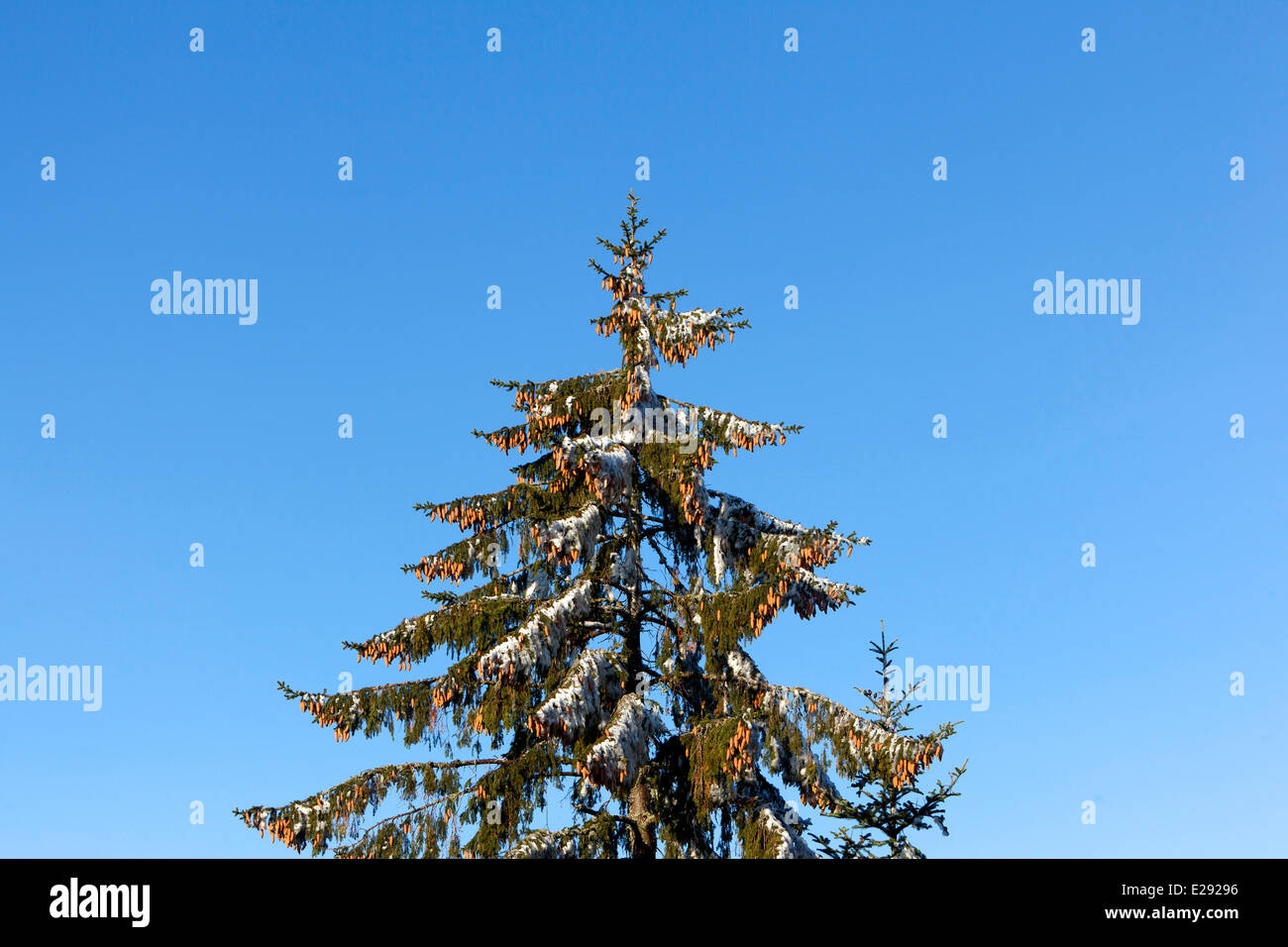 France, Bas Rhin, Spruce with fructifications and frost - Stock Image