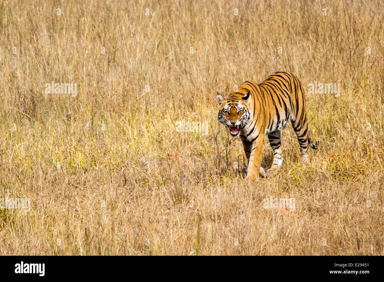 Tiger walking towards, snarling, Bandhavgarh National Park Madhya Pradesh India Asia - Stock Image