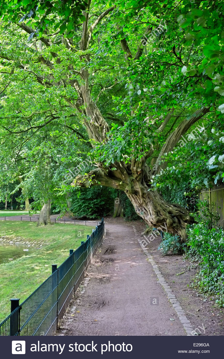 A gnarled Buche, or beech, tree leans over the path that encircles the moated castle at Ahaus, North Rhine-Westfalia, - Stock Image
