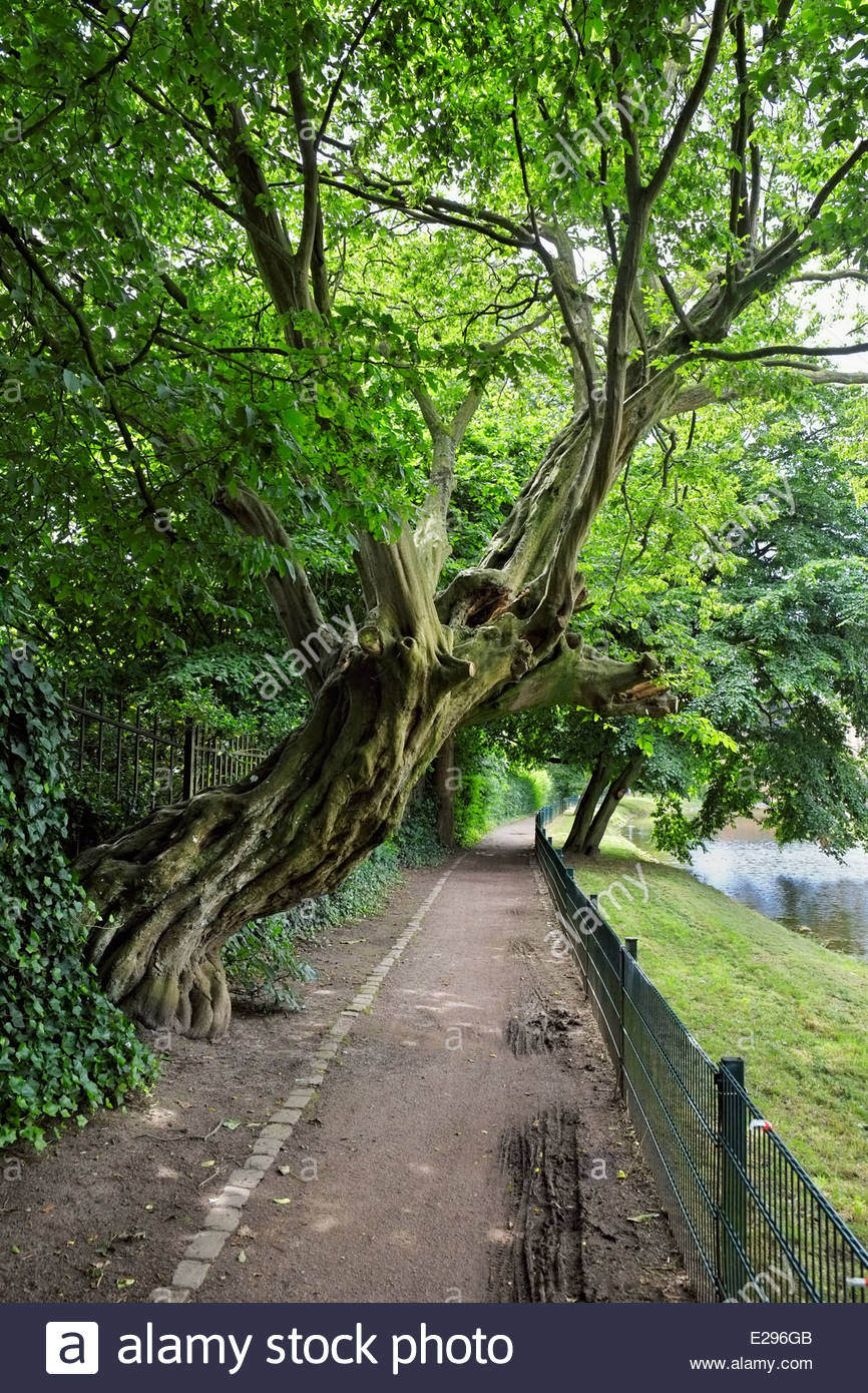 A gnarled Buche, or beech, tree leans over the path that encircles the moated castle at Ahaus in North Rhine-Westfalia, - Stock Image