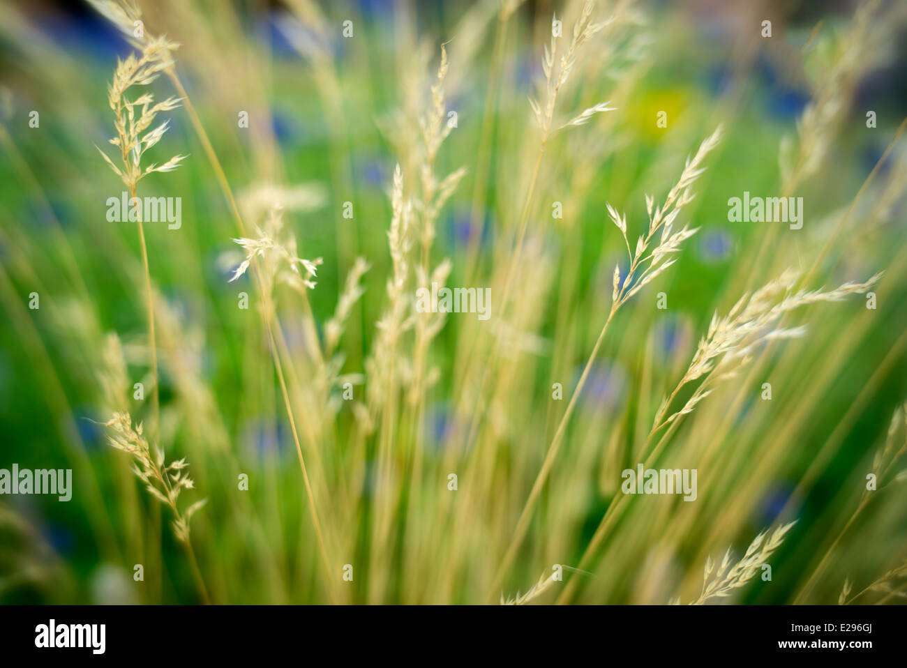 Grasses and blurred background. Colorado - Stock Image