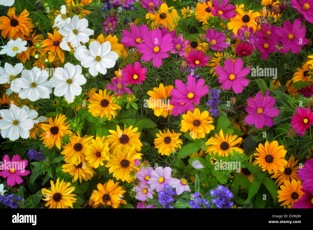 Mixed flowers. Vail, Colorado - Stock Image