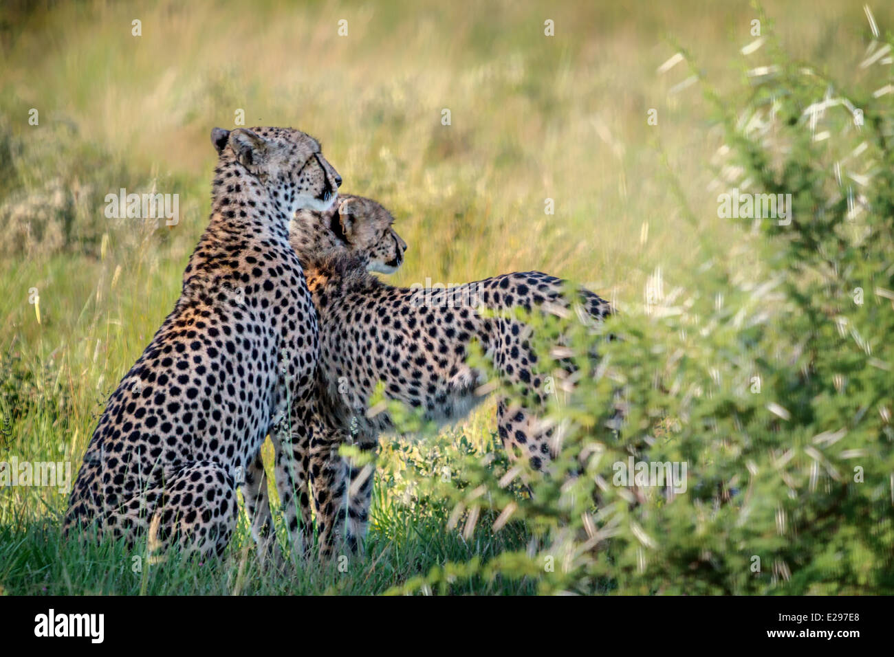 Cheetah mother with almost grown son in Central Kalahari Game Reserve, Botswana - Stock Image