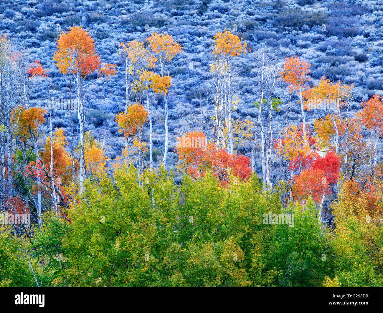 Fall colored aspens. Inyo County. Eastern Sierra Nevada Mountins - Stock Image