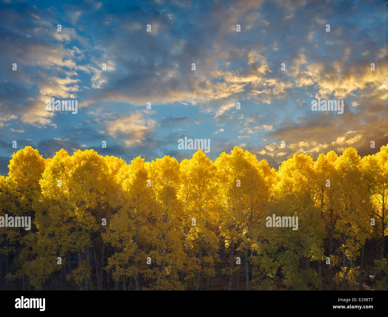 Aspen trees in fall color and around June Lakes Loop.Eastern Sierra Nevada Mountains, California - Stock Image