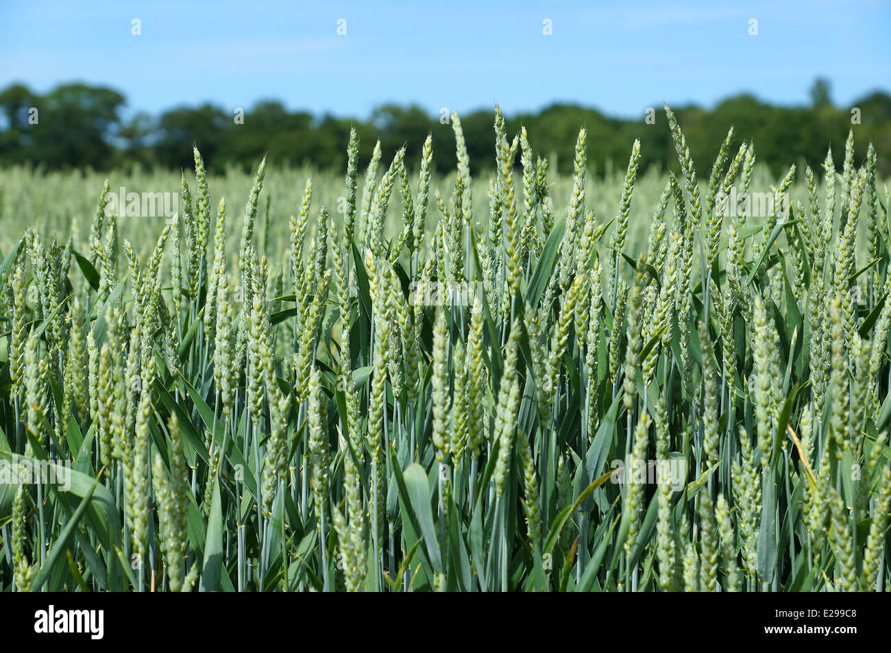 wheat field in spring - Stock Image
