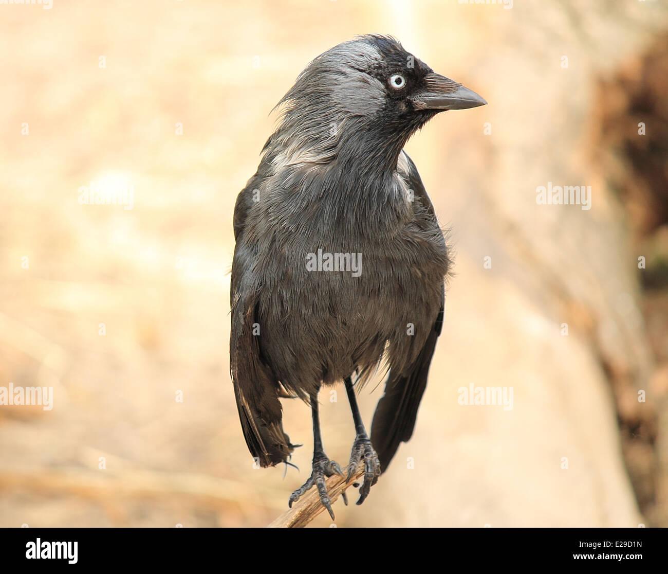 Black raven close-up - Stock Image