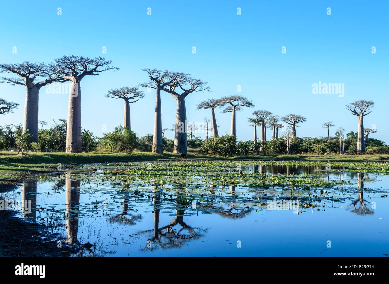 Baobab Trees Reflecting on the Water, Madagascar - Stock Image