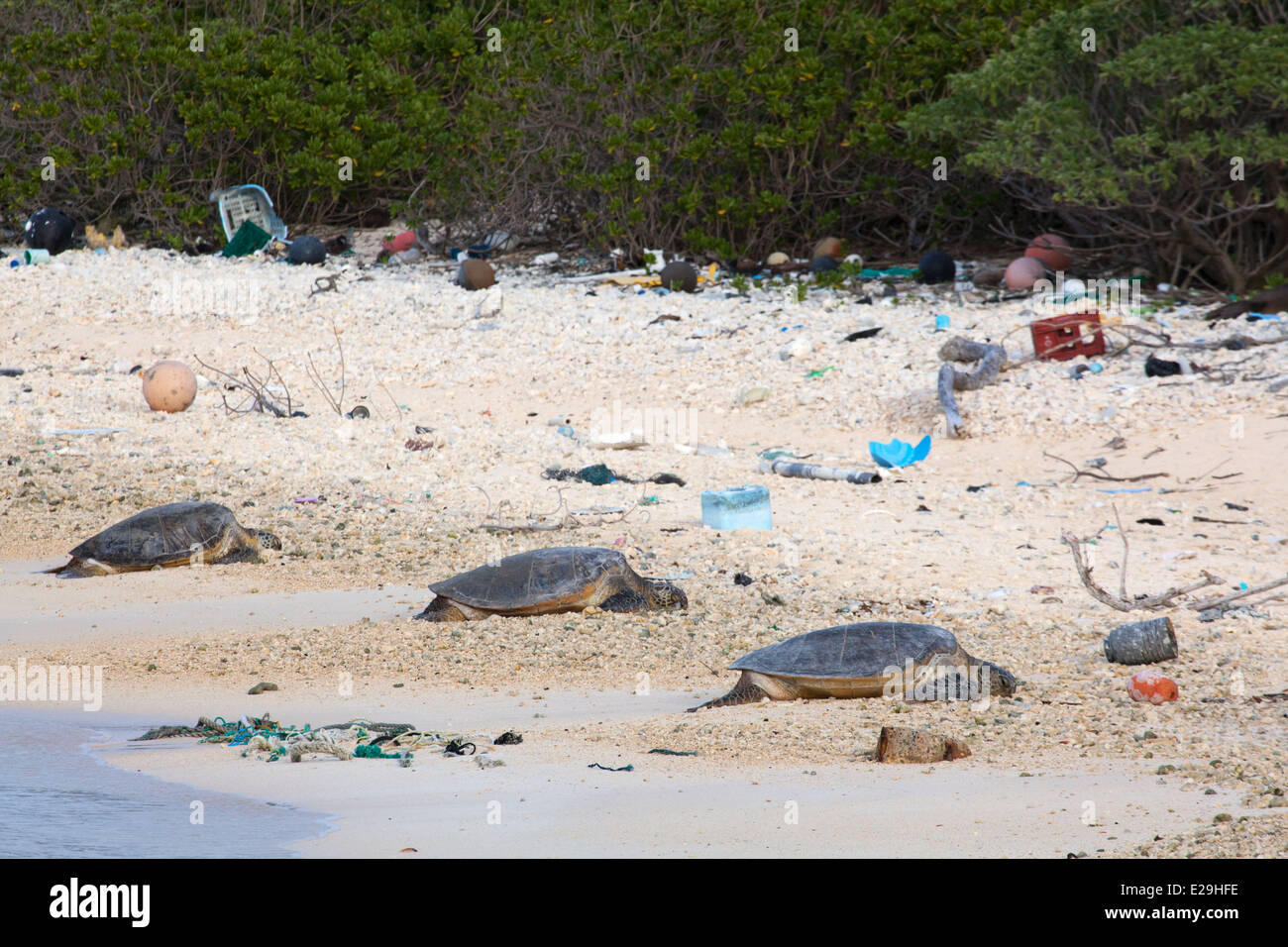 Hawaiian Green Turtles (Chelonia mydas) basking on beach littered with rope and plastic marine debris on Midway - Stock Image