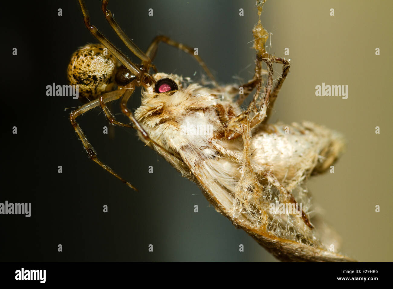 Small Orb Weaving Spider with captured Prey - Stock Image