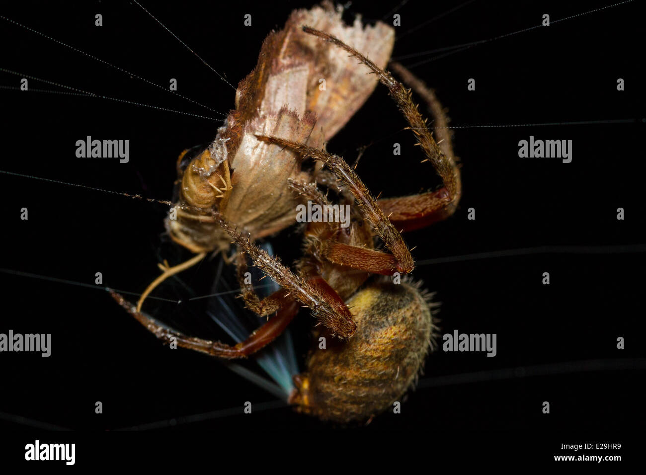 Orb Weaving Spider with captured Moth - Stock Image