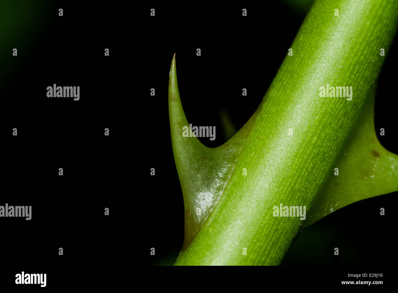Thorn Macro - Stock Image
