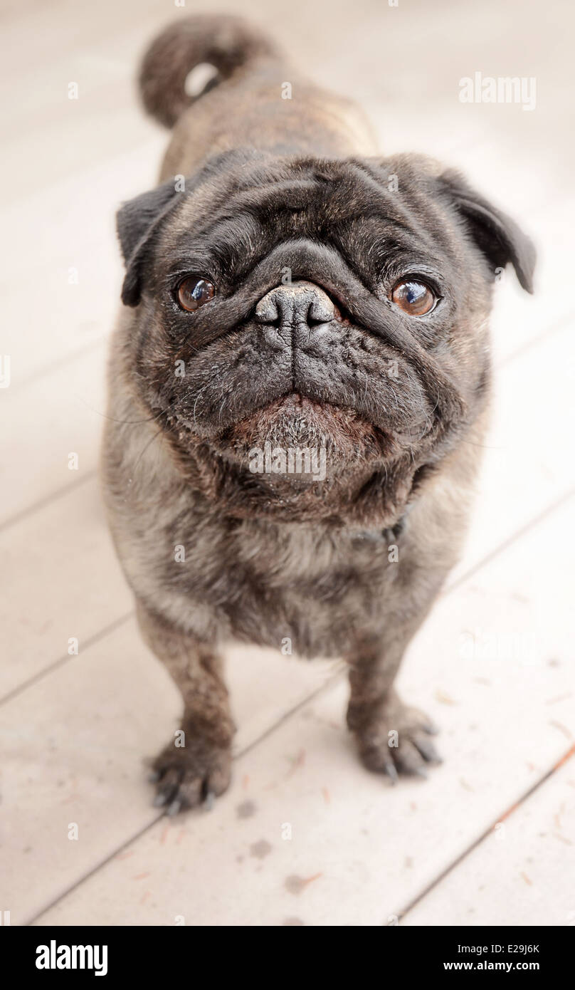 Cute Brindle coloured pug standing outside - Stock Image