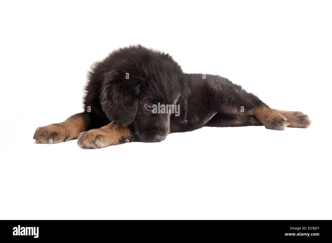 Adorable sad black and tan puppy laying on white - Stock Image