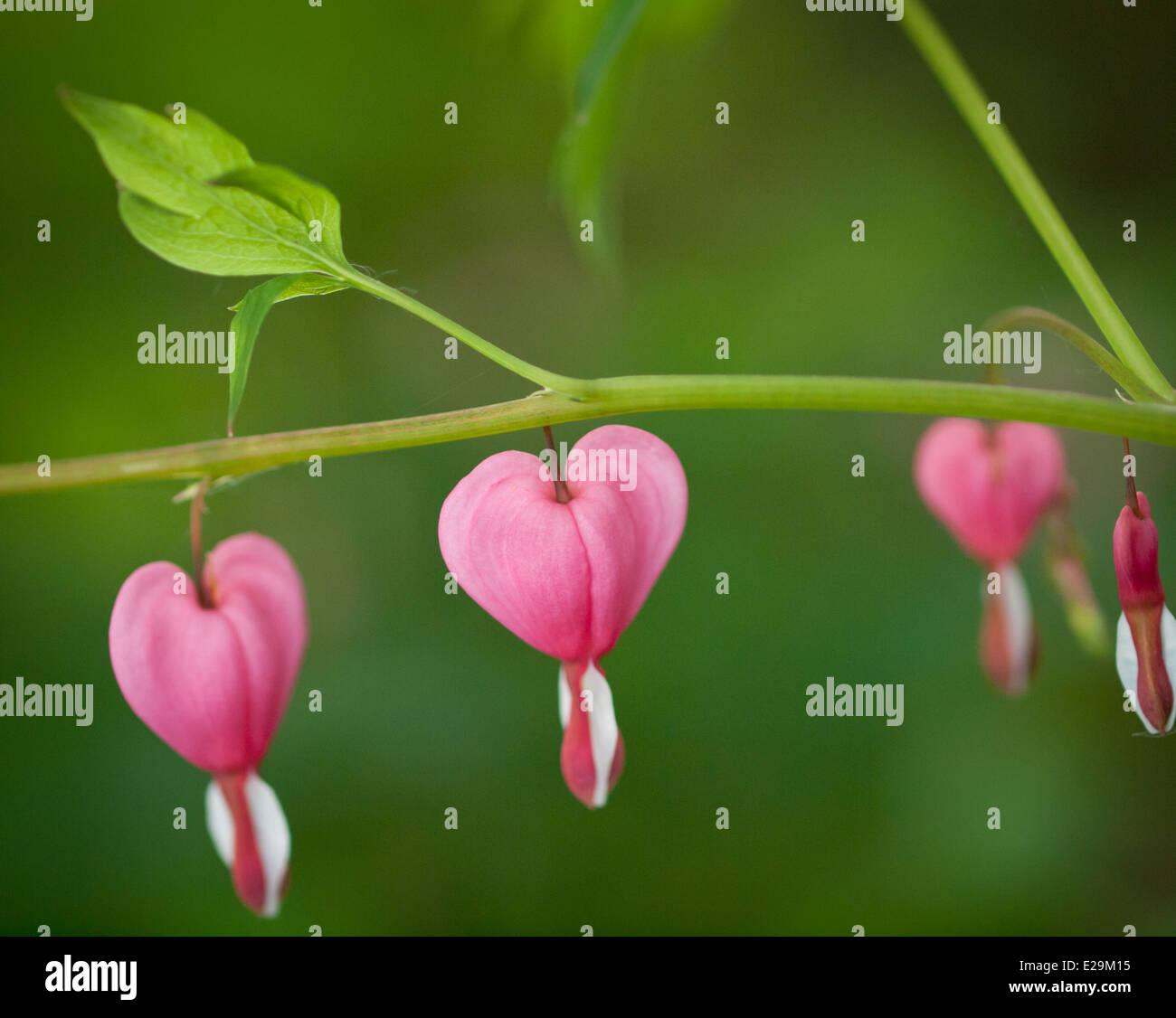 Beautiful bleeding heart (Lamprocapnos spectabilis) flowers in spring. - Stock Image
