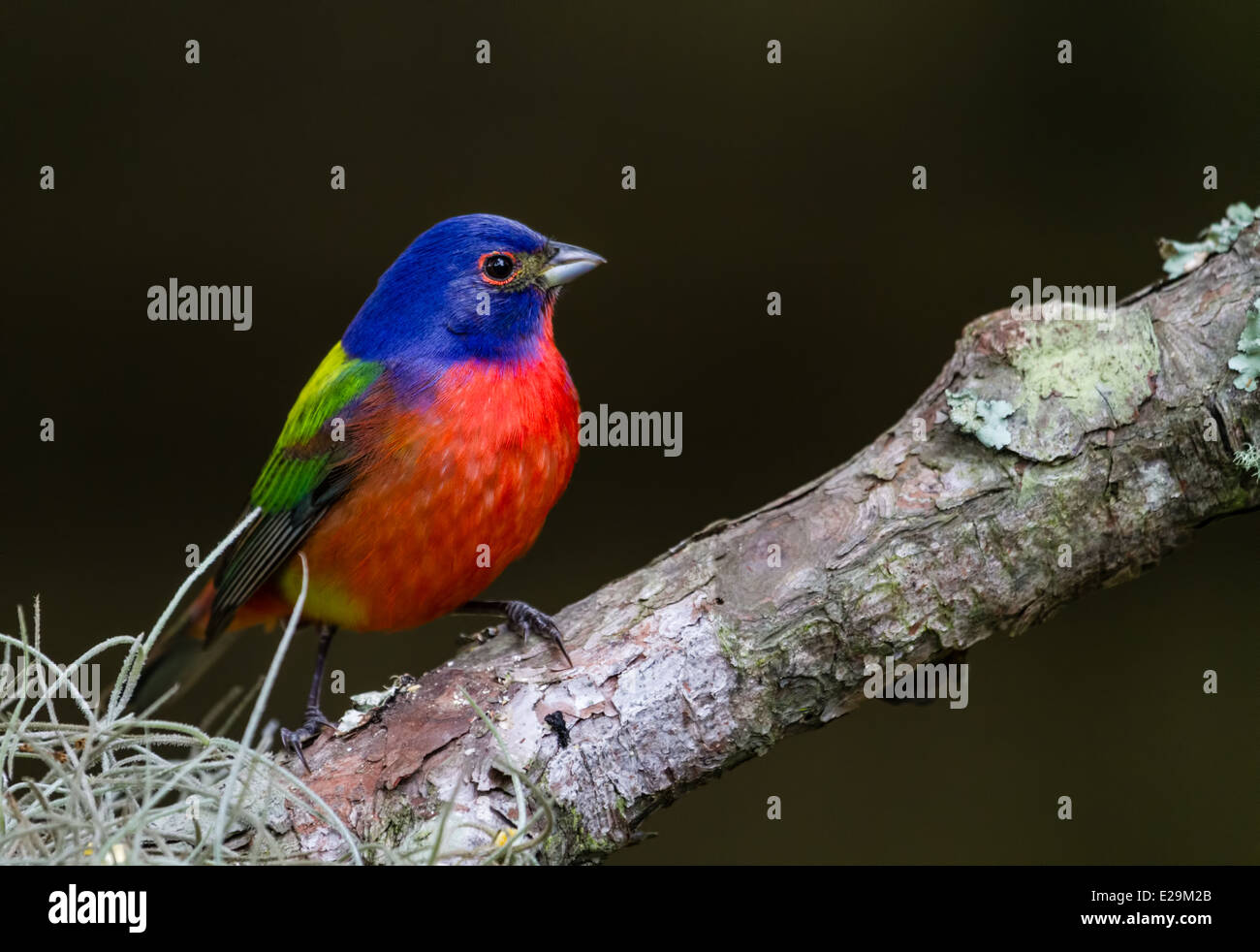Male Painted Bunting (Passerina ciris) perched on a branch. - Stock Image