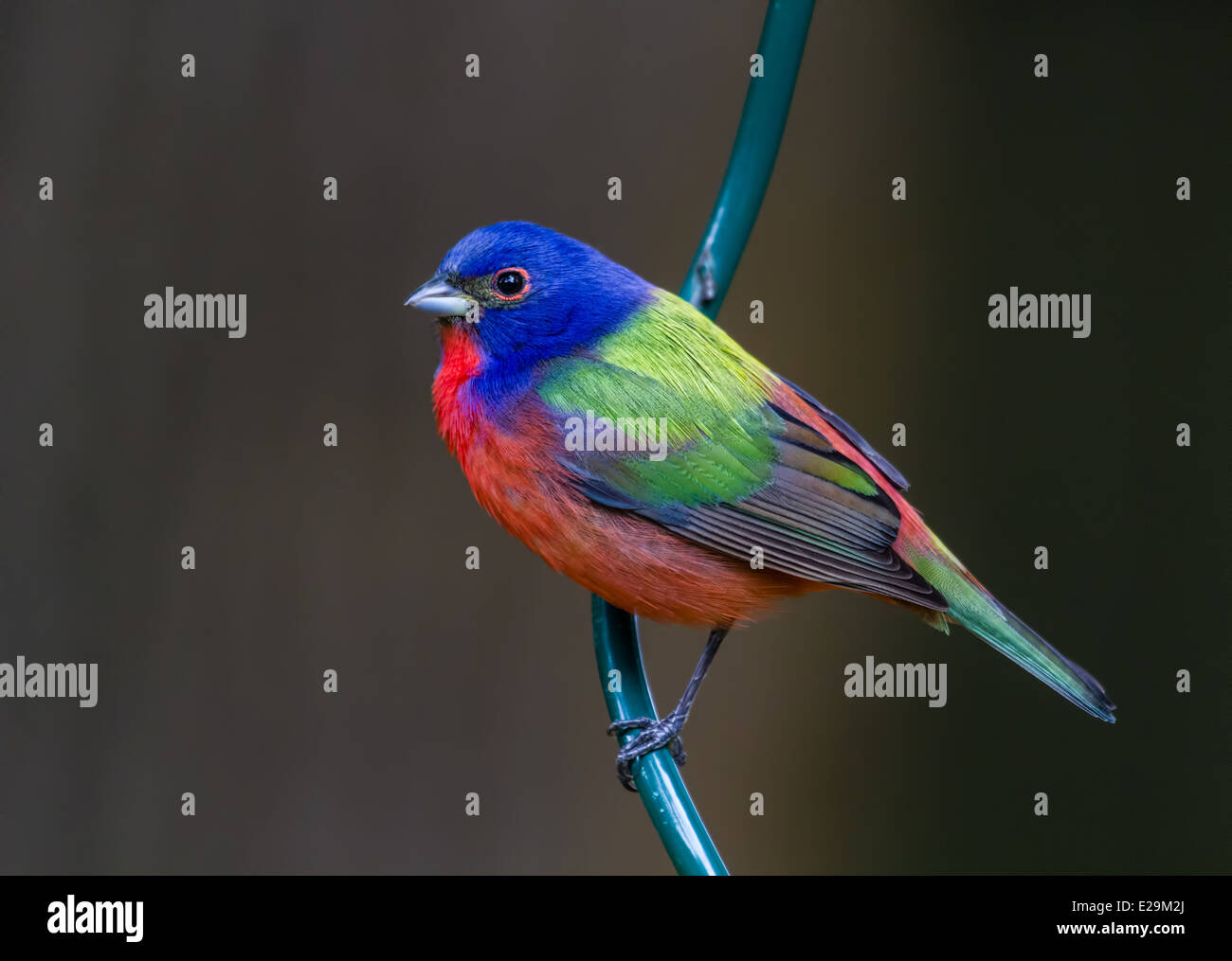 Male Painted Bunting (Passerina ciris) perched on a metal pole. - Stock Image