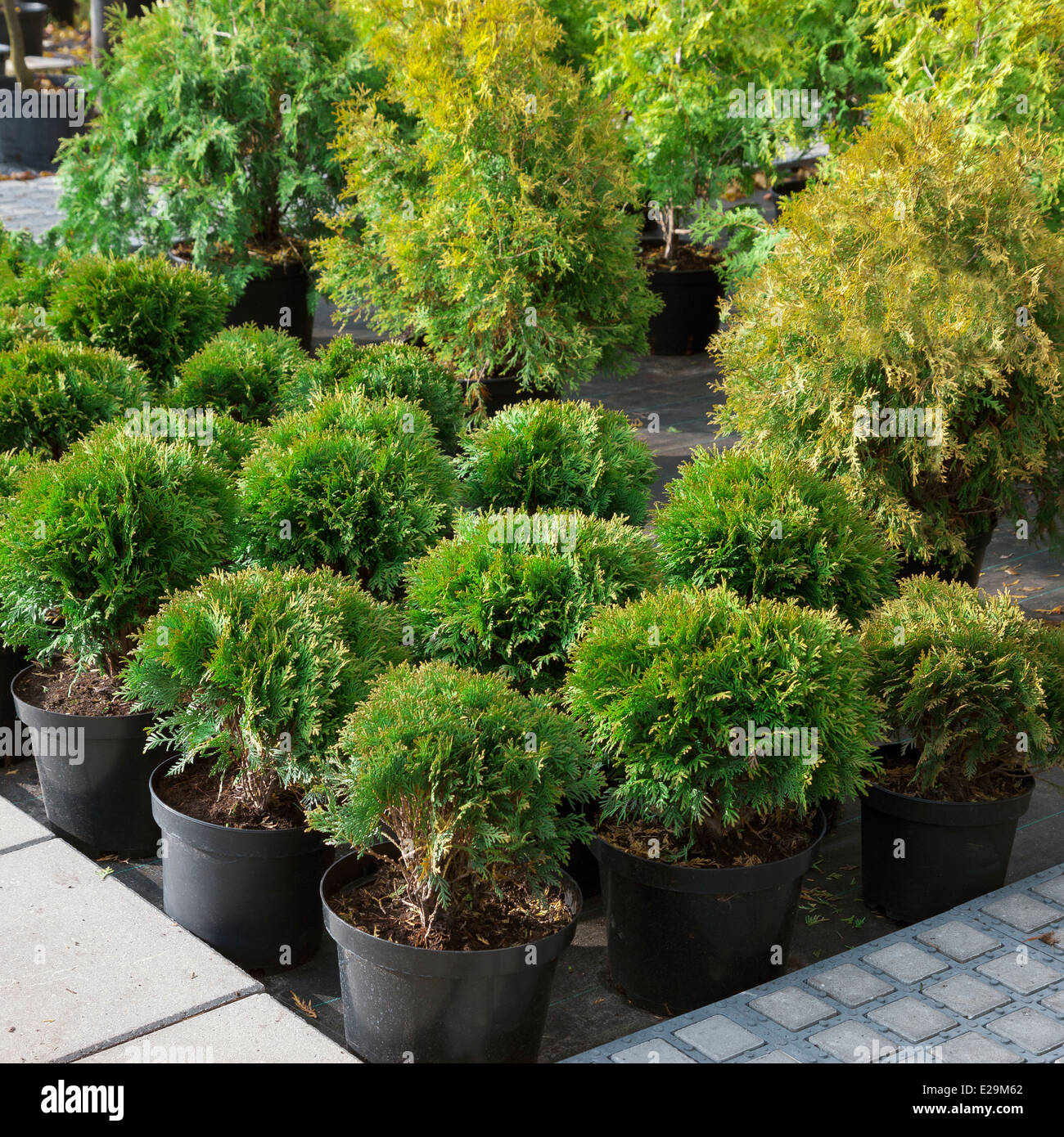 Garden plants being sold in plant nursery - Stock Image