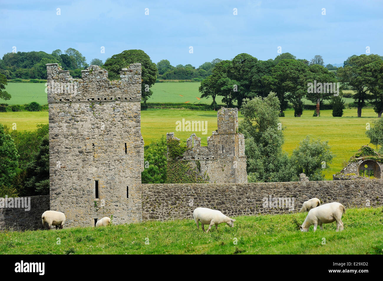 Ireland, County Kilkenny, Jerpoint Abbey, sheep in the meadow - Stock Image