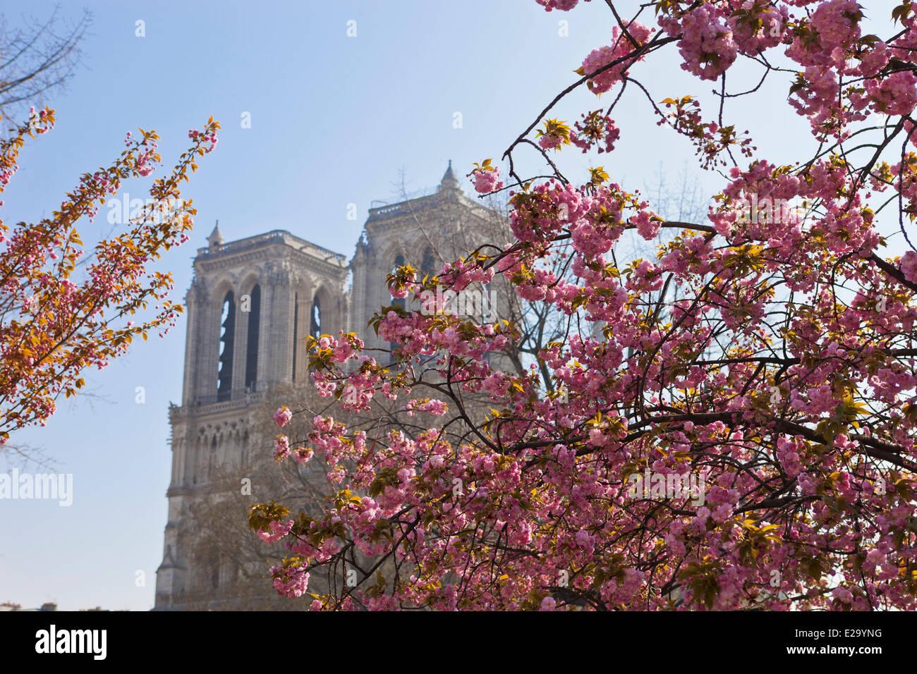France, Paris, Notre Dame de Paris in the spring, plum - Stock Image