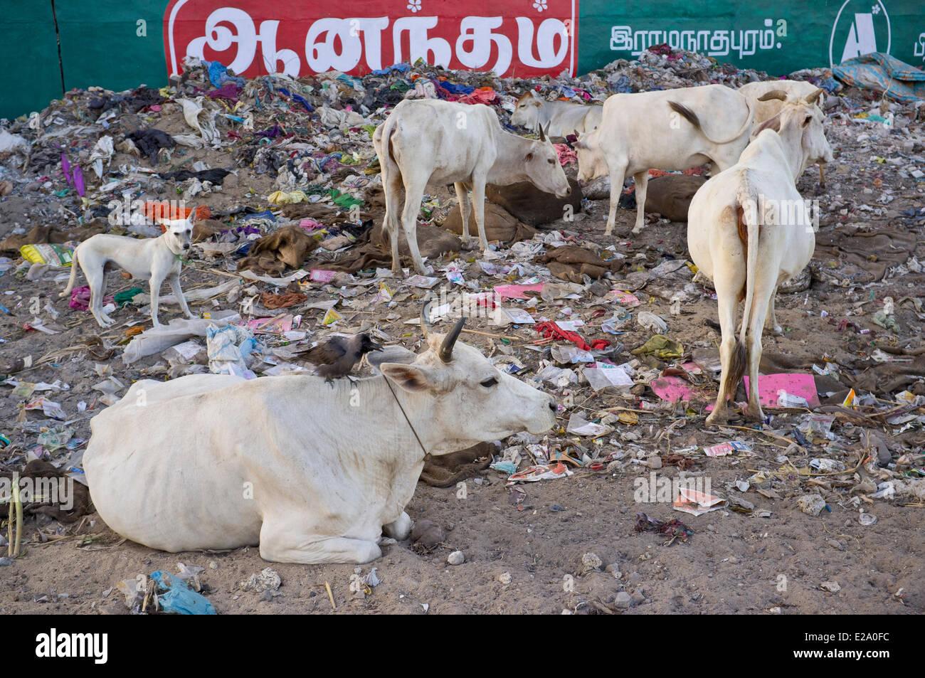 India, Tamil Nadu state, Rameswaram, cows in the garbage - Stock Image