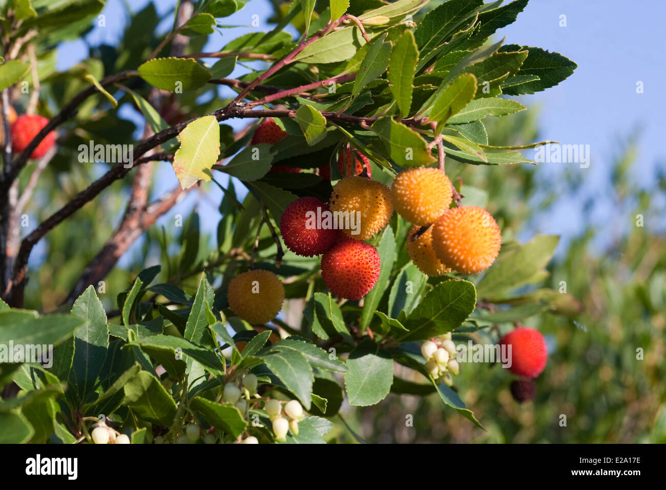 France, Corse, Ericales, Ericaceae, Strawberry Tree, Apple of Cain (Arbutus unedo), two coloured fruits and flowers - Stock Image