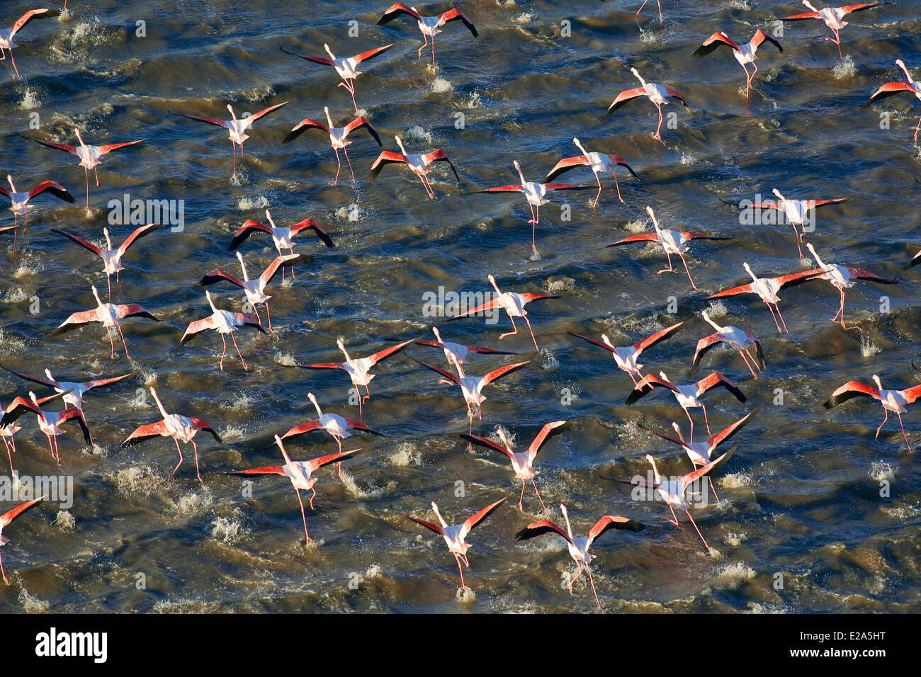 France, Bouches du Rhone, Parc Naturel Regional de Camargue (Natural Regional Park of Camargue), flamingoes (aerial - Stock Image