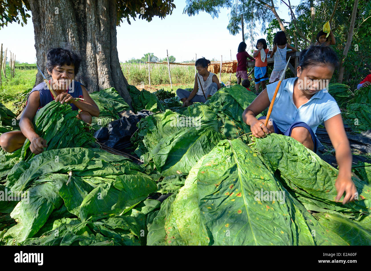 Philippines, Luzon island, Pangasinan, women hooking tobacco leaves on sticks before drying - Stock Image