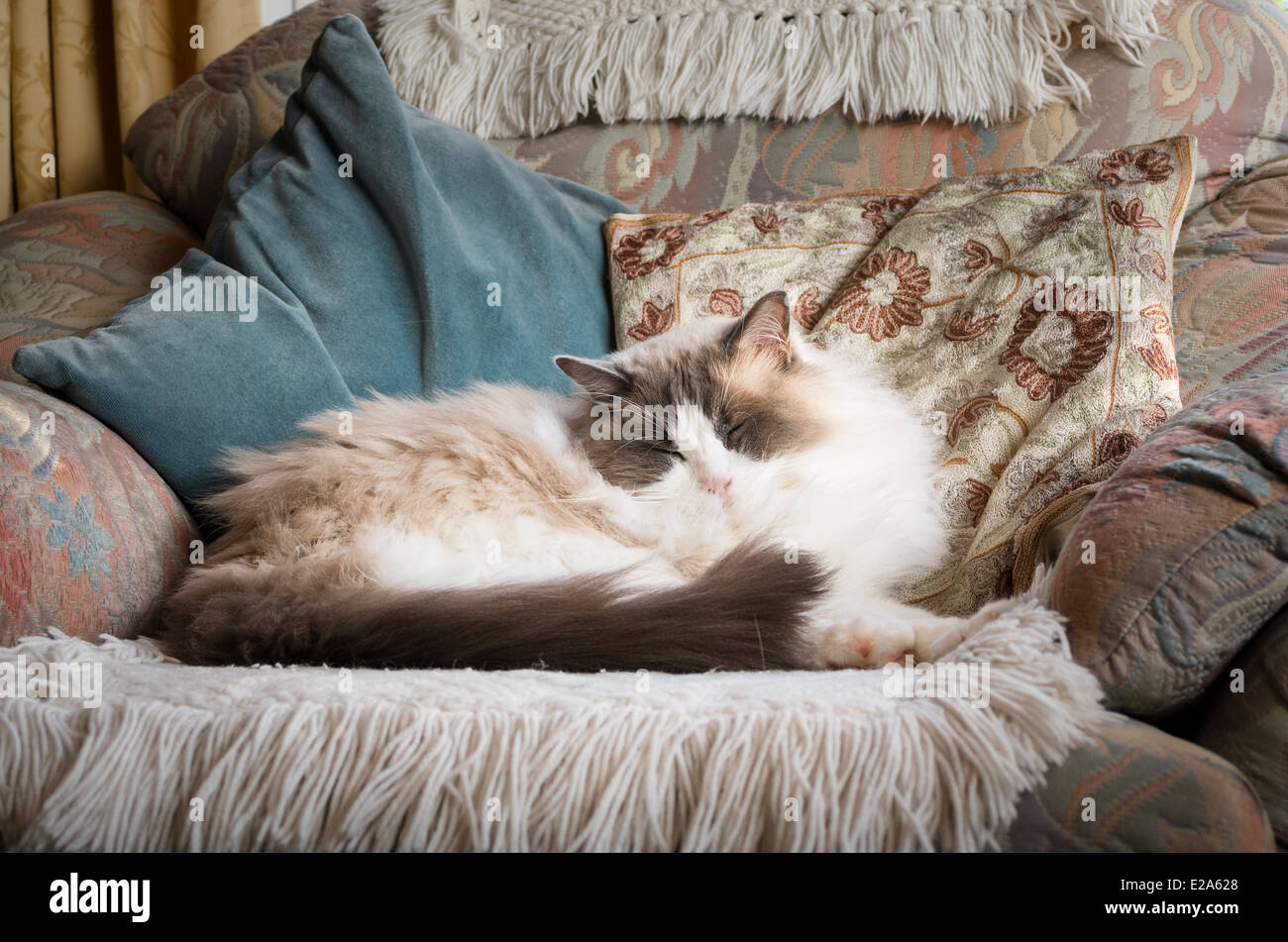 Ragdoll cat dozing in arm chair - Stock Image