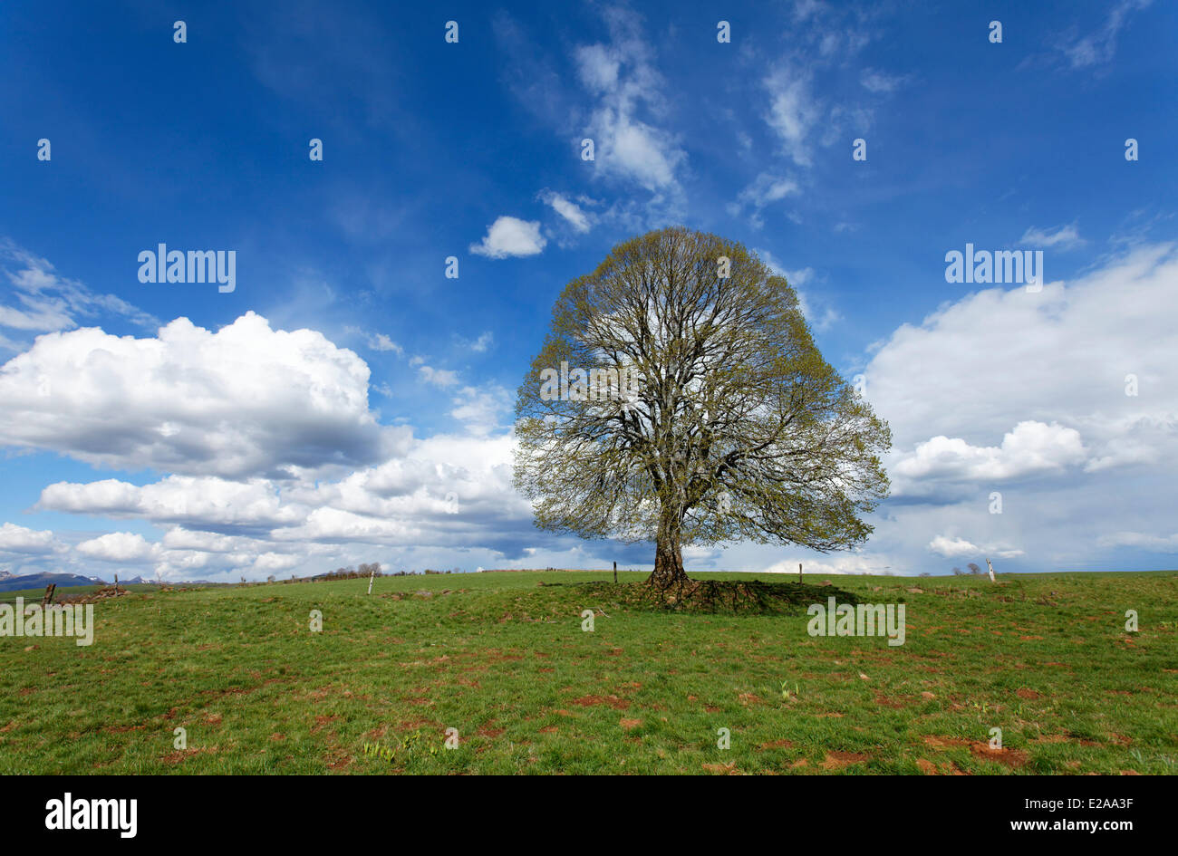 France, Cantal, isolate lime tree - Stock Image