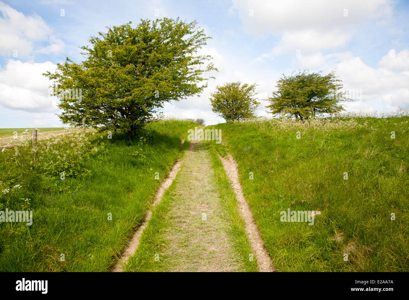 Grassy track climbing through small trees on chalk downland, All Cannings Down, near Milk Hill, Wiltshire, England - Stock Image