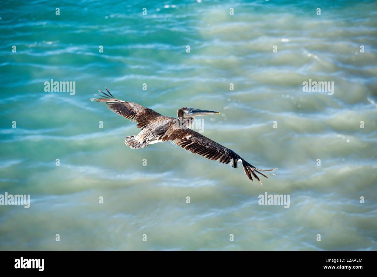 Mexico, Baja California Sur state, pelican - Stock Image