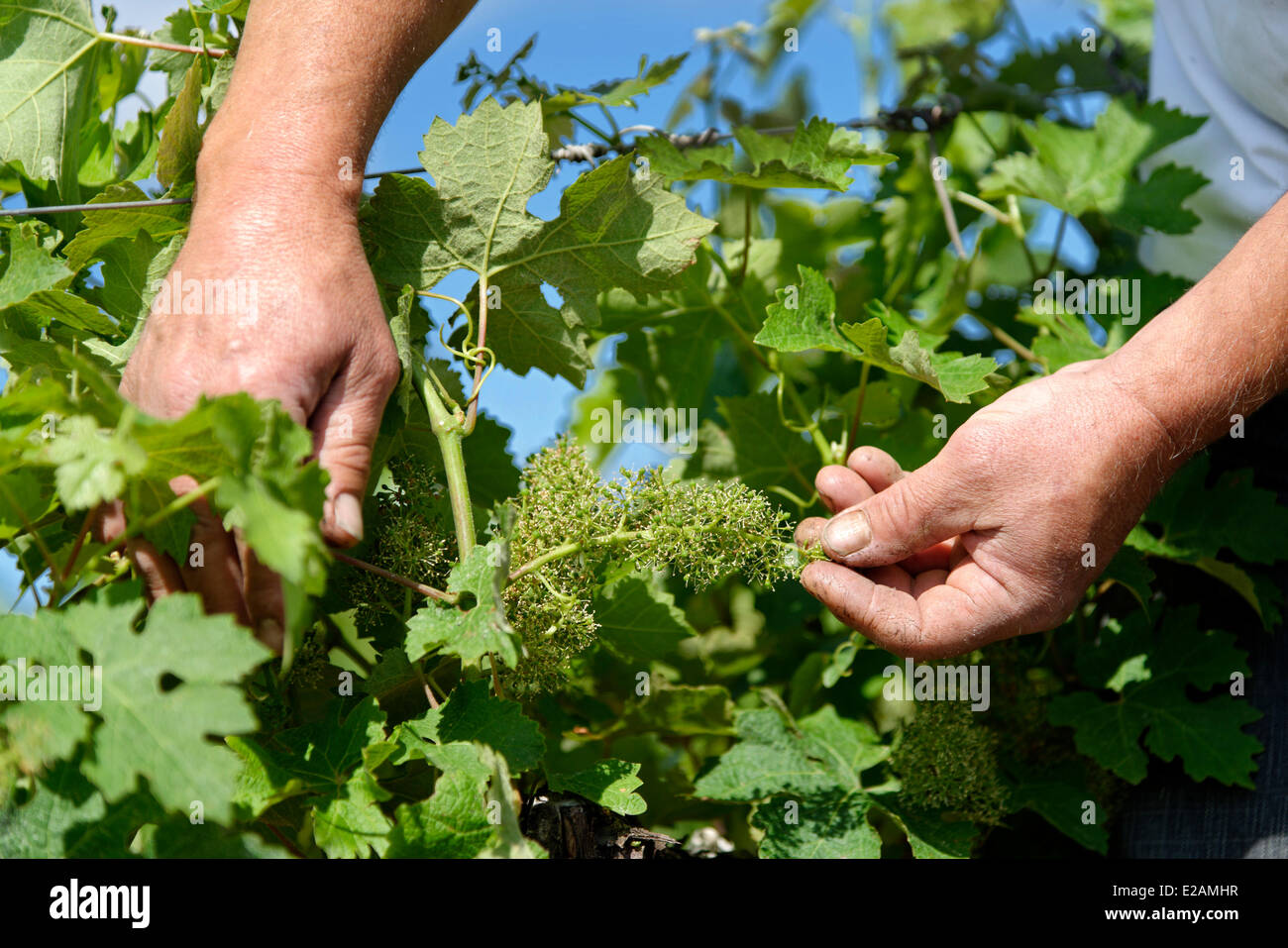 France, Herault, Saint Aunes, Chateau les Mazes domain, inspection of grapes in a vineyard - Stock Image