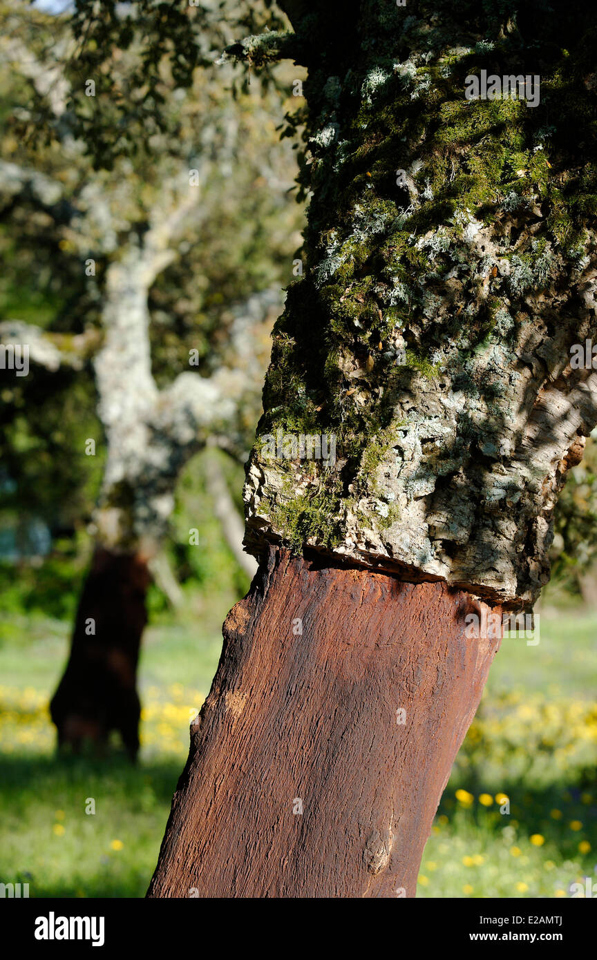 Italy, Sardinia, Olbia Tempio Province, Aggius, bark of cork oak whose operation is the first industry in the region - Stock Image