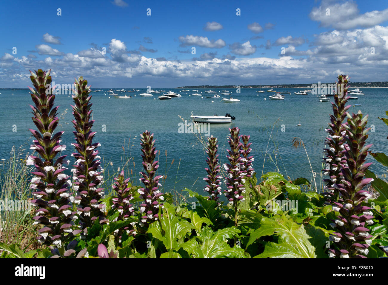 France, Gironde, Arcachon Bay, Cap Ferret, coastal vegetation, flowers on the coast with boats in the background - Stock Image