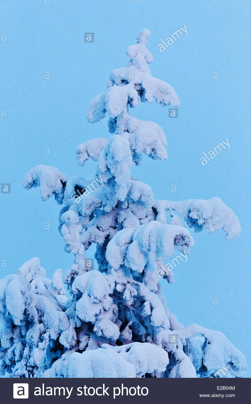 Finland, Lapland, Levi, fir in the polar night in the Levi mountain - Stock Image