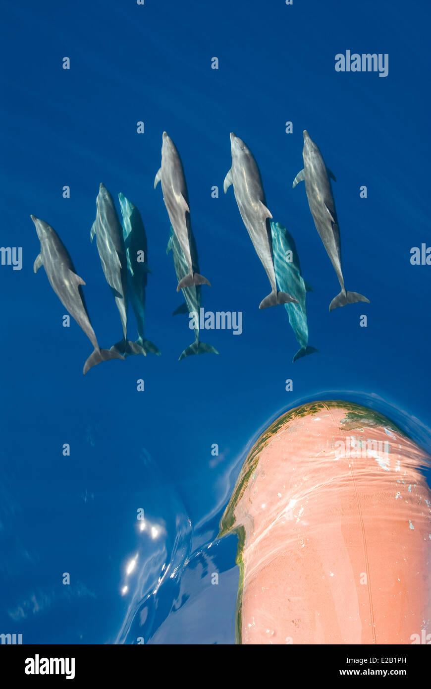 France, French Polynesia, Tuamotu islands, Rangiroa Atoll, cruise aboard the cargo ship Aranui 3, Tursiops dolphins - Stock Image