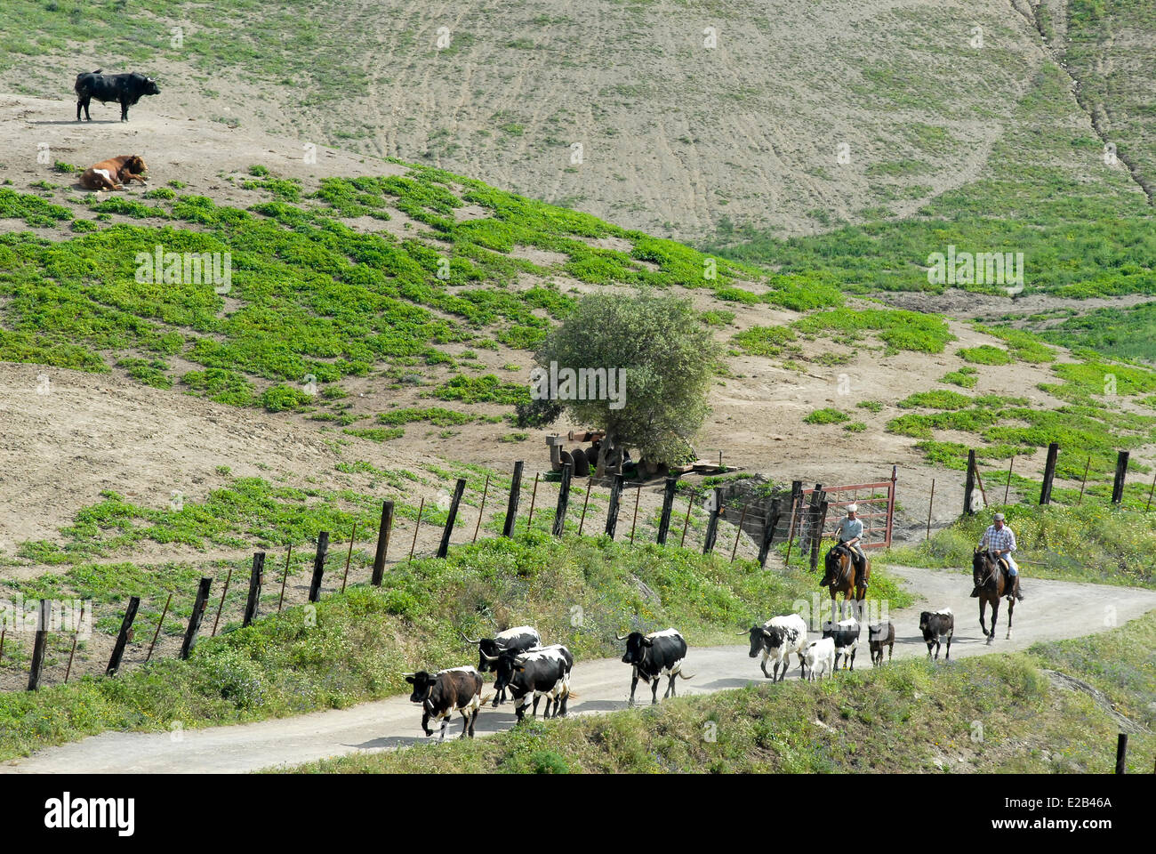 Spain, Andalucia, Almonte, Cortijo los Mimbrales, breeding bull fighting, two men on horseback carrying cows and - Stock Image