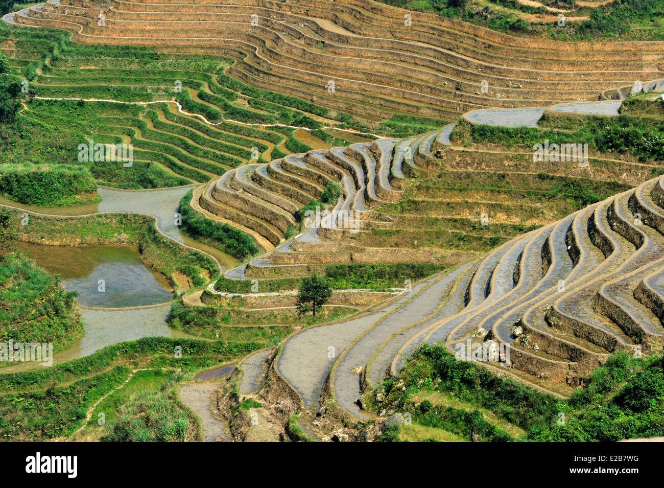 China, Guangxi Province, Longsheng, rice terraces at Longji - Stock Image