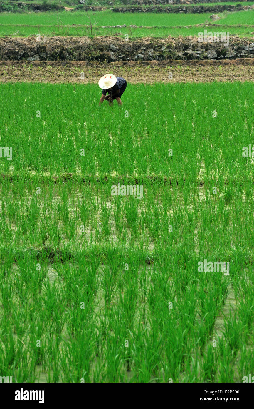 China, Guangxi province, Guilin region, rice field Stock Photo