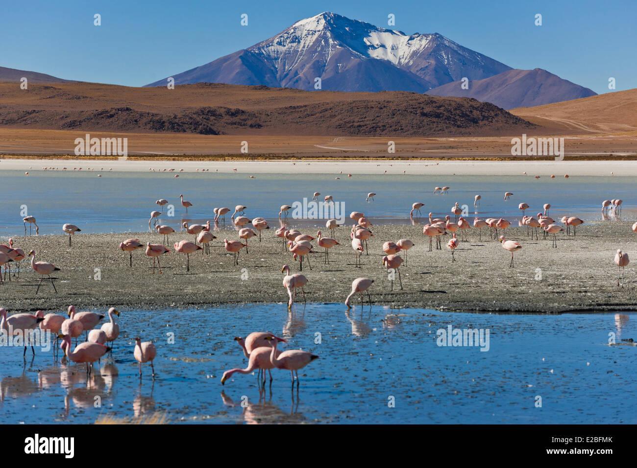 Bolivia, Potosi Department, Sur Lipez Province, Eduardo Avaroa Andean Fauna National Reserve, Laguna Hedionda whose - Stock Image