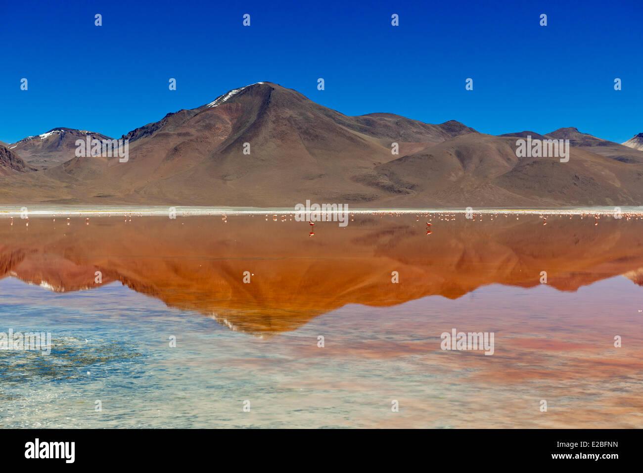 Bolivia, Potosi Department, Sur Lipez Province, Eduardo Avaroa Andean Fauna National Reserve, colony of flamingoes - Stock Image