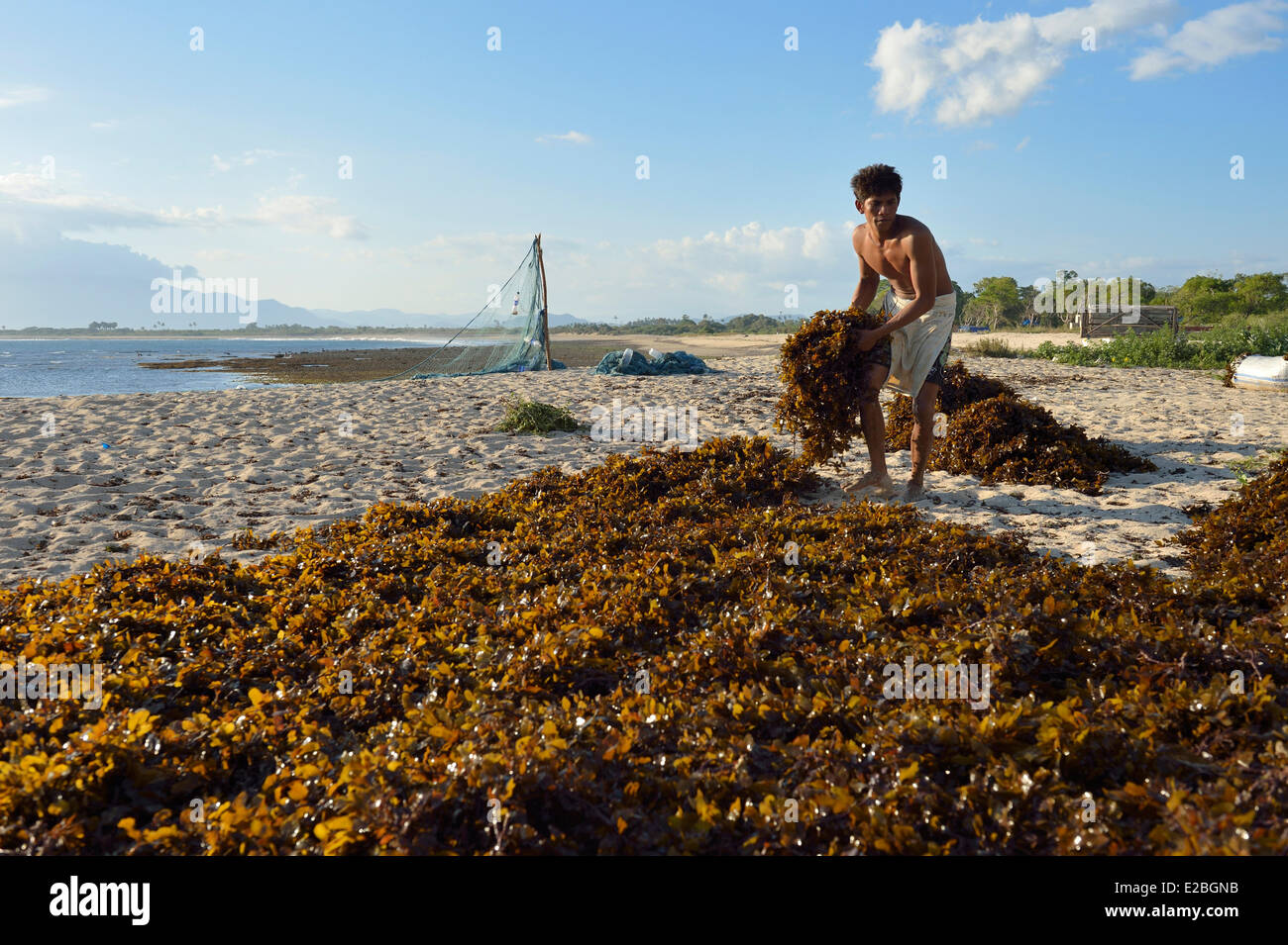 Indonesia, Sumbawa, seaweeds cultivation at Pantai Lakey, beach also famous for its surf breaks - Stock Image
