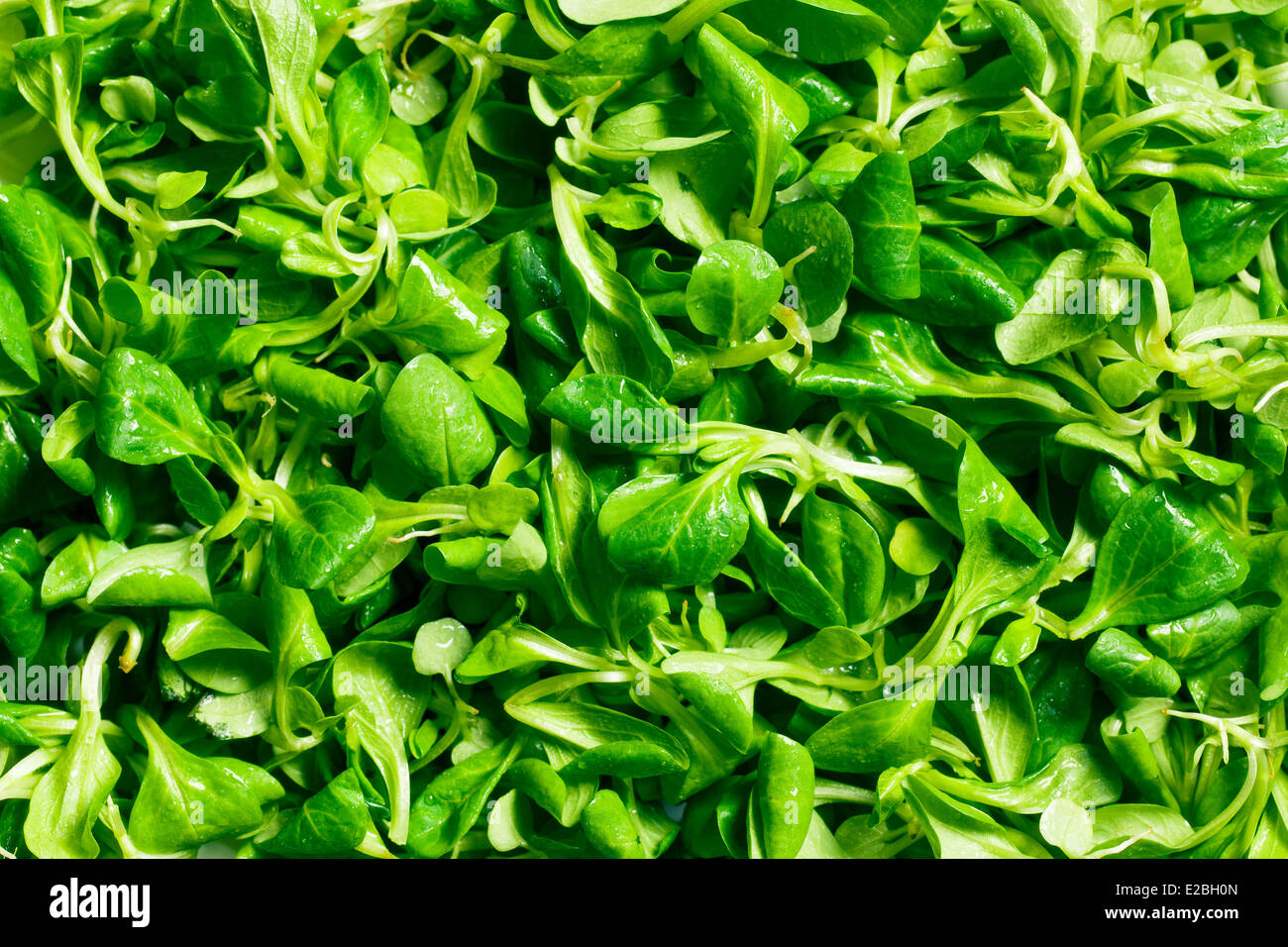texture of corn salad, lamb's lettuce - Stock Image