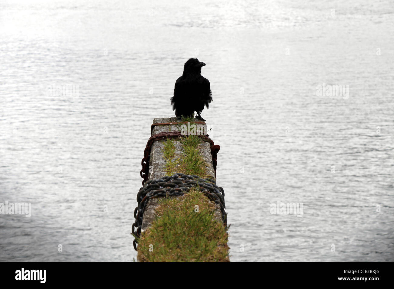 Black Raven on a grass covered wood pier dock, wrapped in chains.  Juneau Alaska - Stock Image