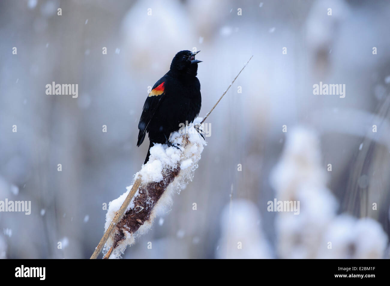 A red-winged blackbird sings for a mate during an early Spring snowfall, Missoula, Montana - Stock Image