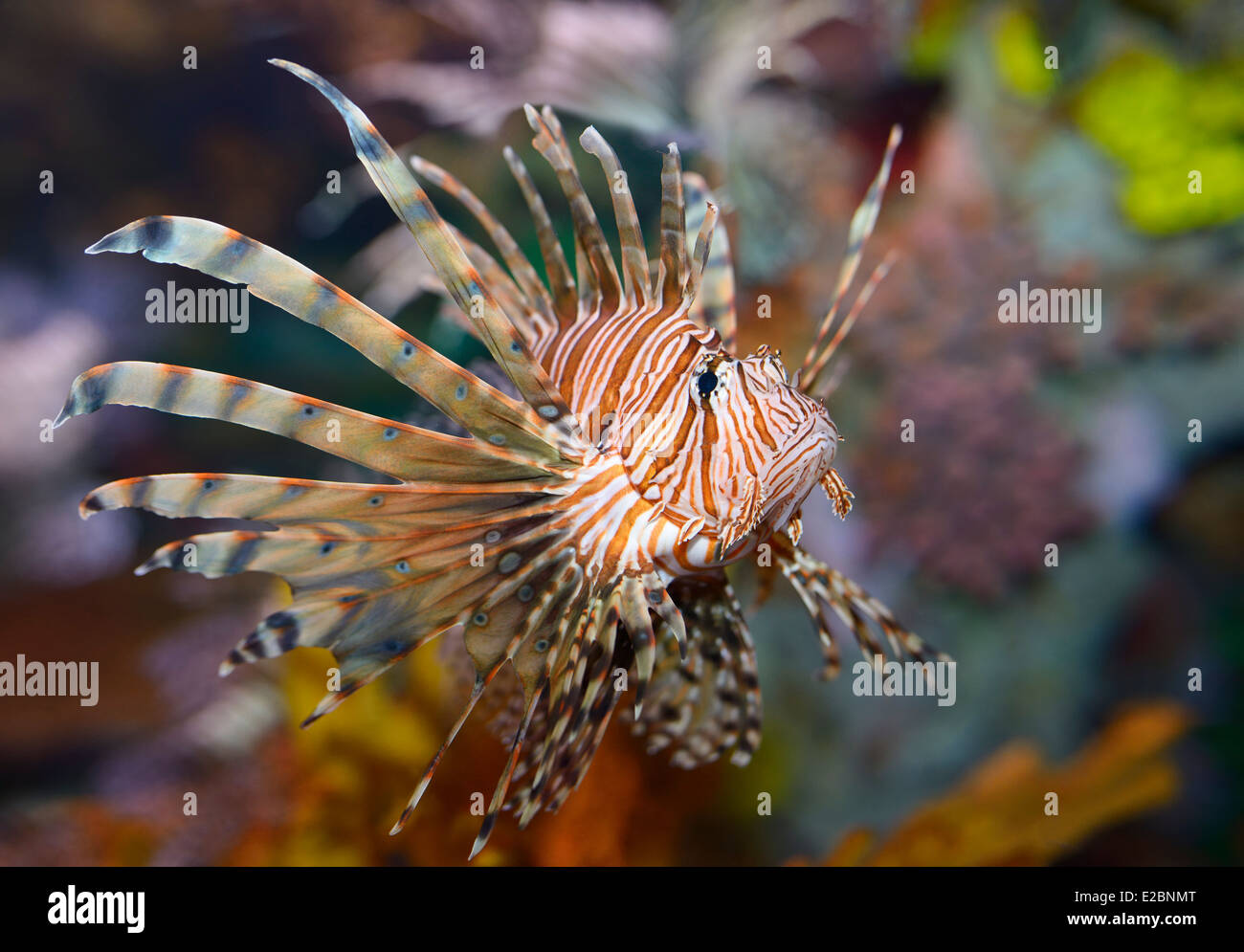 Colorful pectoral fins of Pterois volitans or red lionfish with venomous spiky fin rays in Ripleys Aquarium Toronto - Stock Image