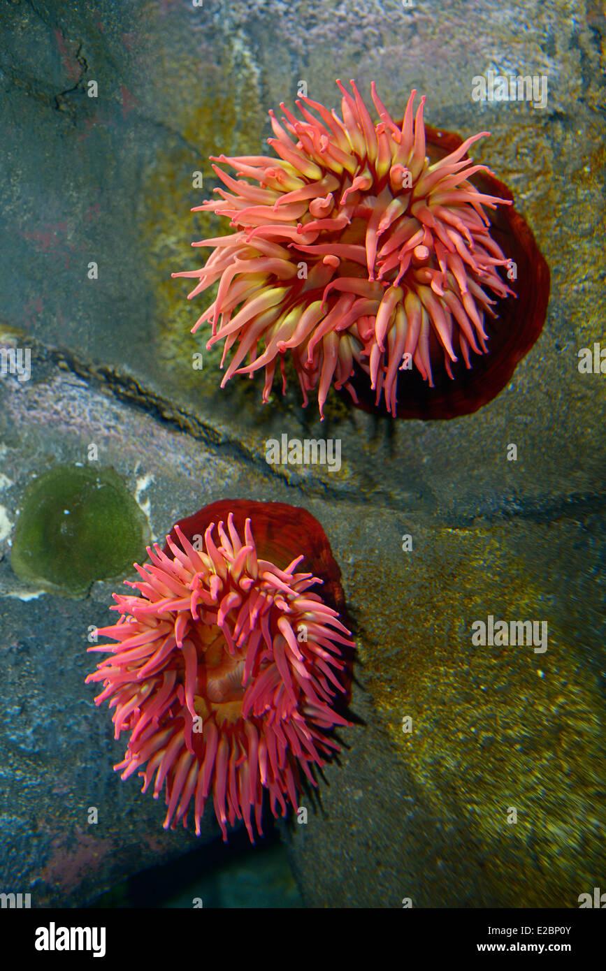 Northern red or dahlia sea anemones underwater in Ripleys Aquarium Toronto - Stock Image