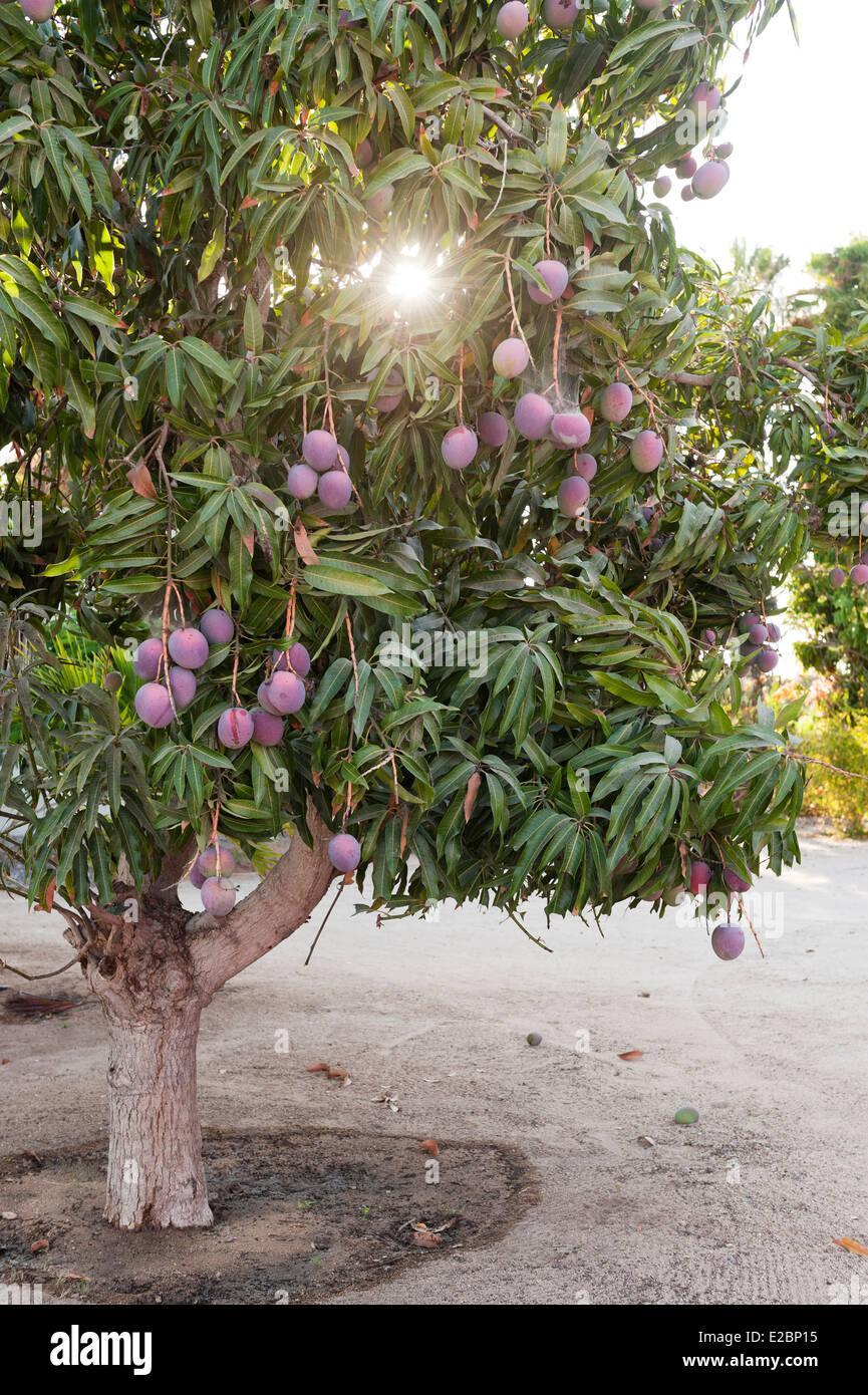 Fruit tree in garden of Baja home Stock Photo