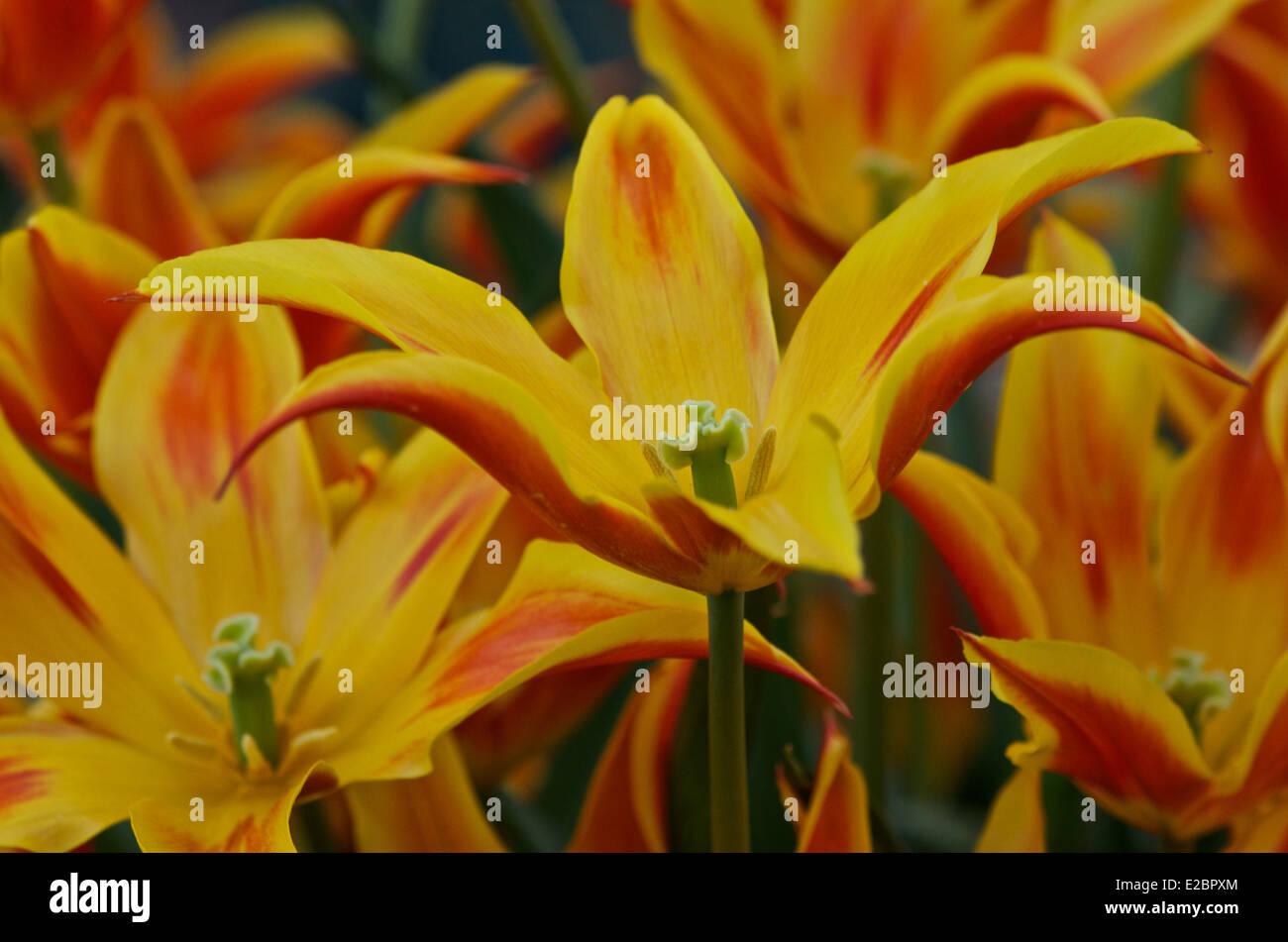 Tulip 'Fly Away' - Stock Image
